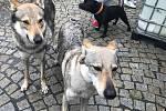 Národní výstava psů Floracanis Olomouc 2019 probíhá od sobotního dopoledne na Výstavišti Flora Olomouc. Mezi soutěžícími jsou zástupci bezmála 300 psích plemen.