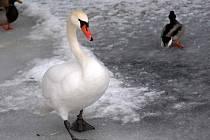 Labuť. Ilustrační foto