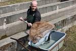 Karel Otoupalík loví generační ryby, které budeme vytírat, z venkovních nádob a dává je do narkotizačního roztoku v kádi. Za pár minut jsou uspané.