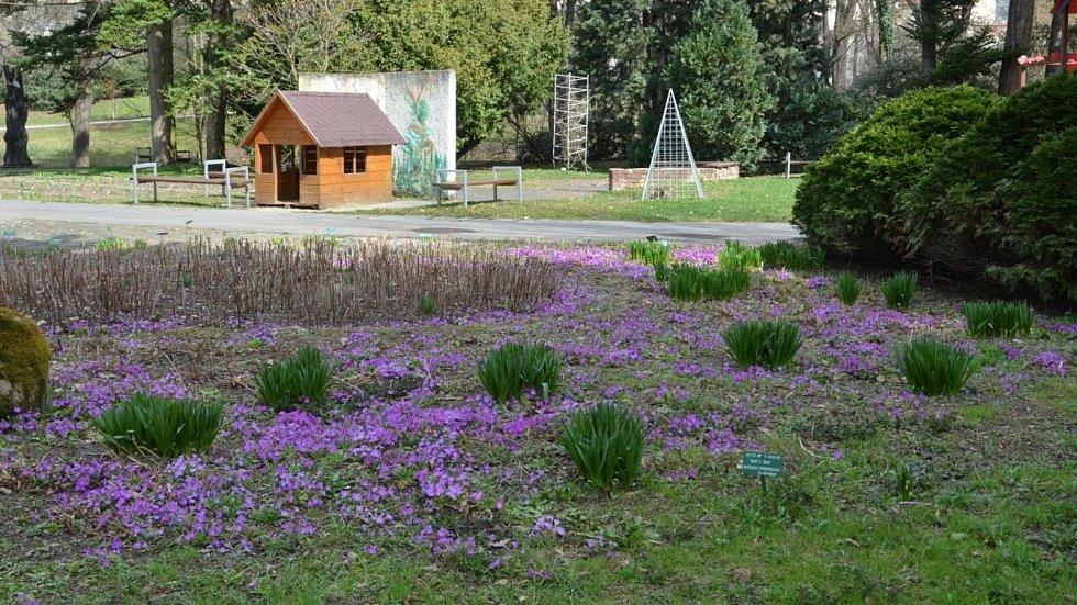 Návštěvníky botanické zahrady v Olomouci uvítá záplava rozkvetlých petrklíčů.