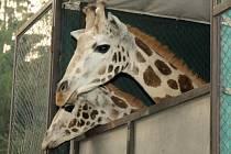 Odjezd mladých žirafích samců z Olomouce do lublaňské zoo