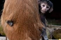 V olomoucké zoo na Svatém Kopečku se pyšní mláďaty kočkodana husarského. Otcem je výstavní a geneticky cenný samec Patashon