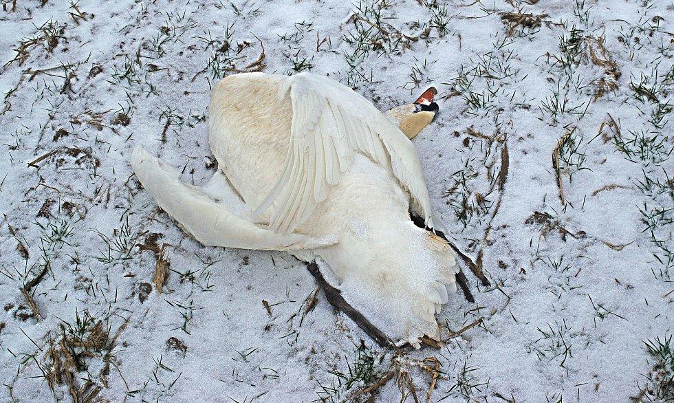 Uhynulá labuť na poli u Grygova. Ilustrační foto