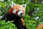 Zoo Olomouc se rozrostla o pandy červené.