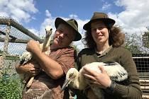 V záchranné stanici v Bílé Lhotě-Pateříně pečují o čápata a jejich otce, který přišel o křídlo. Matka s dalšími dvěma mláďaty zůstala na hnízdě. Sama by všechny letošní potomky neuživila, 24. června 2020