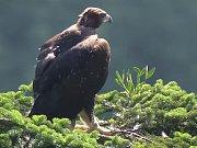 Mladá samička orla skalního ve vojenském prostoru Libavá. 20.7.2014