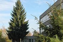 Smrk na dvoře Gymnázia Čajkovského