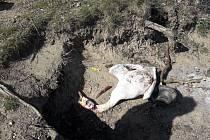 Labutího samce útočník brutálně usmrtil. Použil k tomu šňůru a nůž.