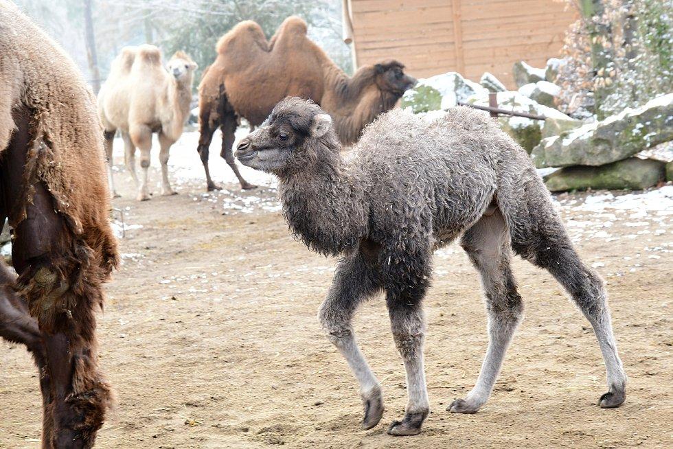 Velbloudí kluk Lotrando, nový přírůstek Zoo Olomouc.