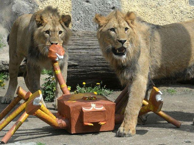 Olomoucká zoo se loučí se dvěma sympaťáky – lvy berberskými.