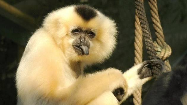Gibon zlatolící v olomoucké zoo