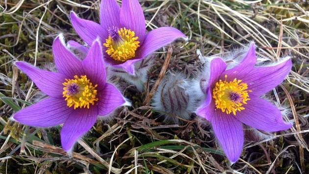 Jaro je tady. U Strejčkova lomu kvetou koniklece, budou jich ...