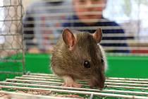 Na sobotní dopolední setkání chovatelů laboratorních potkanů a nejen jich, přišla ještě majitelka se zakrslým králíčkem a k vidění byl i černý pískomil.