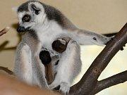 V srpnu přibyla ke třem jarním mláďatům lemurů kata ještě dvojčata.