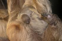 Mládě lenochoda dvouprstého v olomoucké zoo
