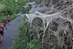 Předivka zhoubná napadla vegetaci podél cyklostezky Černovír - Hlušovice.