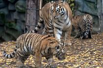 Mláďata tygra ussurijského v olomoucké zoo si užívají větší volnosti. Chovatelé je společně s matkou Betty přesunuli do prostornějšího výběhu, kterým se doposud procházel jejich hrdý otec Amur.