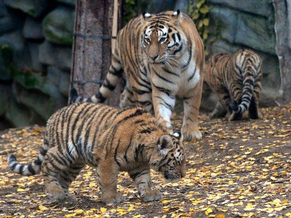 Mláďata tygra ussurijského volomoucké zoo si užívají větší volnosti. Chovatelé je společně smatkou Betty přesunuli do prostornějšího výběhu, kterým se doposud procházel jejich hrdý otec Amur.
