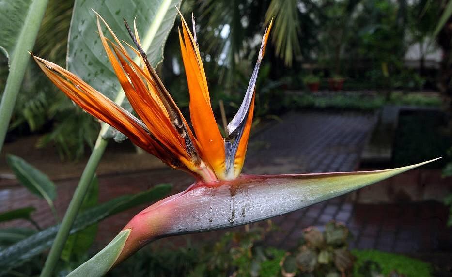Rozkvetlý palmový skleník: Strelitzia