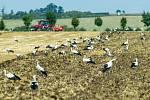 Ornitologové v těchto dnech zaznamenali stovky čápů bílých, jak se zastavují na cestě do Afriky na polích s přemnoženými hraboši. Na Hané mají hody. Na snímku pole u Kožušan.