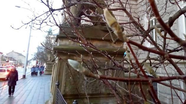 2. ledna 2018. Zima nezima probrala k zivotu kvetni pupeny magnolií u olomouckeho okresniho soudu.