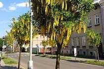 Žluté hrozny štědrence na třídě Svobody Olomouce