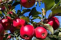 Sklizeň jablek v Libině