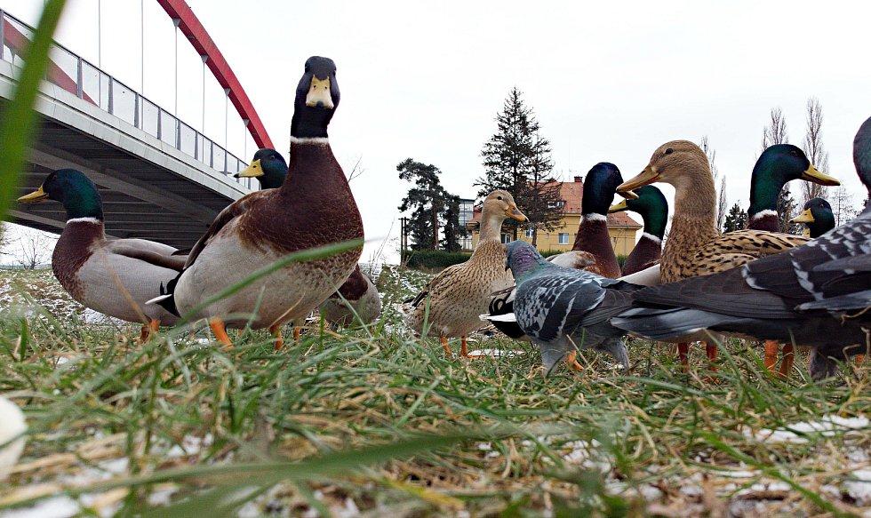 Holubi a kachny u mostu u kojeneckého ústavu v Olomouci. Ilustrační foto