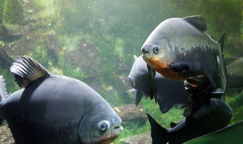 Krmení piraní v olomoucké zoo