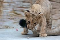 Lvíček z olomoucké zoo