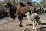 Po téměř 20 letech se v olomoucké zoo narodilo mládě velblouda.