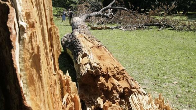 Spadlý strom je domovem vzácného brouka.