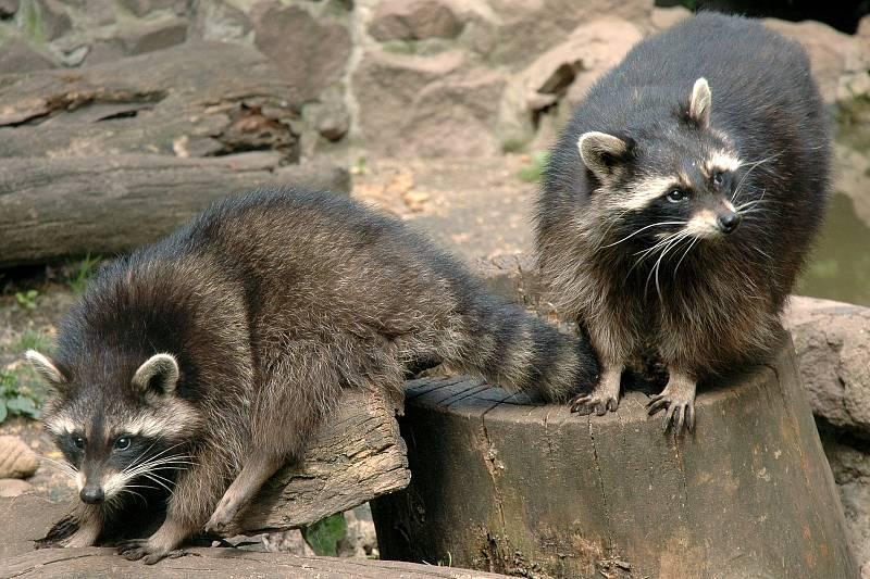 Mýval severní v Zoo Olomouc.