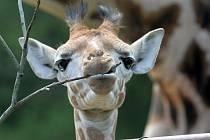 Žirafí slečna v olomoucké zoo dostala jméno Hana