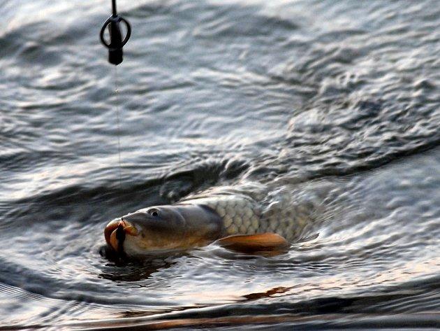 Kapří souboj s rybářem.