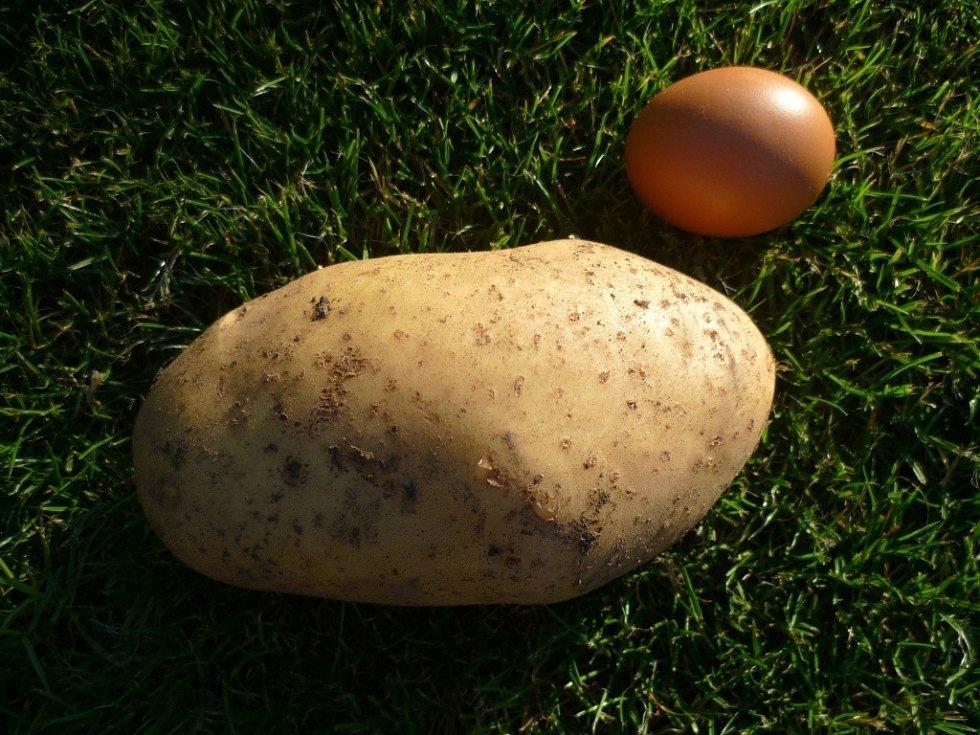 """Paní Magdaléna Sýkorová si pochvaluje letošní úrodu brambor. """"Zatím jsme vykopali jen půl řádku. Největší váží 520 gramů, na délku má 15,5 centrimetrů a """"obvod"""" 24 centimetrů. Zbytek měl váhu od 450 do 485 gramů,"""" popisovala nadšená zahrádkářka z vesnice"""