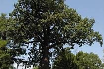 Hromův dub za Olomoucí