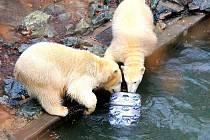 Mladí lední medvědi v Zoo Brno