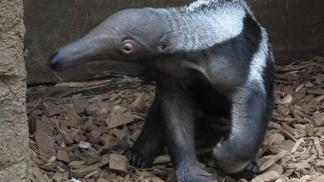 Už páté mládě mravenečníka přivítali v olomoucké zoo na Svatém Kopečku