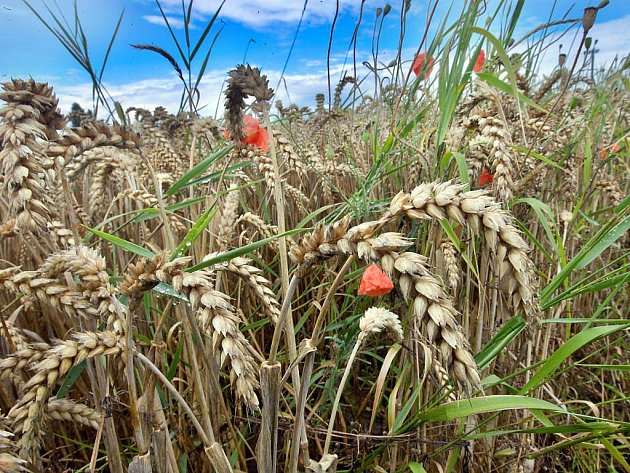 Lány pšenice u Pňovic