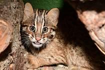 Návštěvníci zoo se už mohou potěšit pohledem na tři mláďata kočky krátkouché.