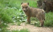 Mláďata ve výběhu vlků Hudsonových v olomoucké zoo