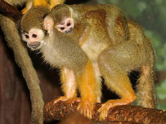 Mládě kotula je prvním přírůstkem olomoucké zoo v roce 2011