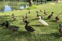Bílá kachna v hejně kachen divokých na rybníku v Litovli. 15. července 2021