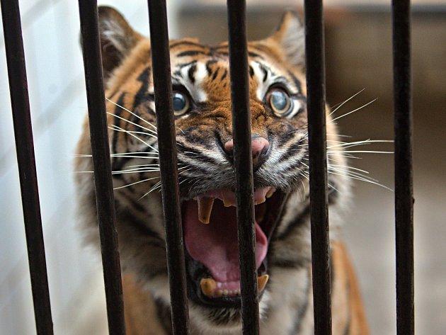 Několik zvířat z pražské zoo kvůli povodni našlo azyl v olomocké zoo na Svatém Kopečku - tygřice sumaterská