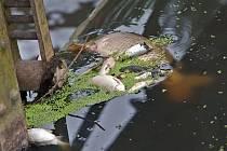 Ekologická havárie na říčce Blatě - jez v Olšanech