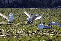Labutě na poli u Grygova. Ilustrační foto
