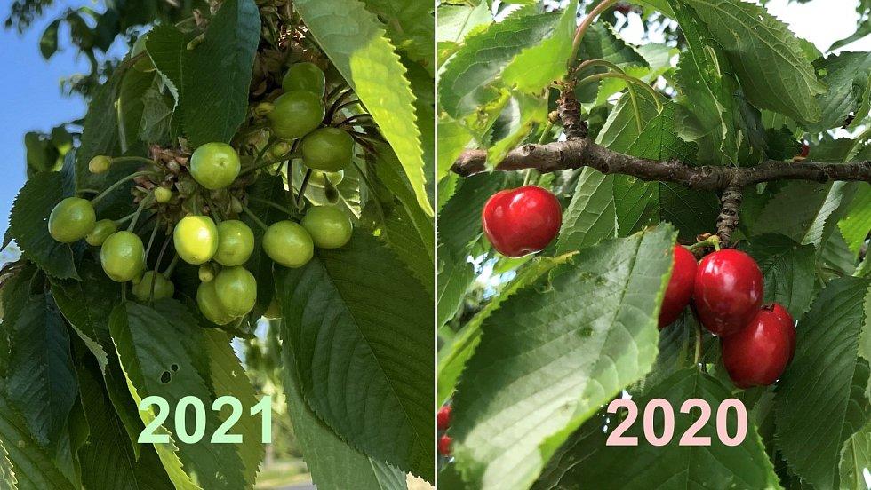 Třešně v aleji u Bohuňovic. Vlevo 3. června 2021, vpravo 5. června 2020