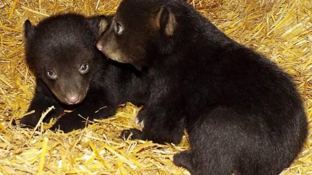 Medvíďata v olomoucké zoo na konci února 2017