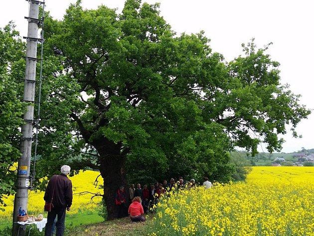 350 let starý dub v Bílé Lhotě
